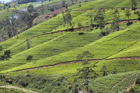 agriculture sri lanka: Lush, green tea plantation colors Sri Lanka\\\\