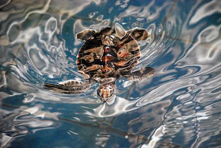 little sea turtle photo