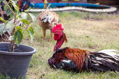 flock of chickens grazing on the grass garden.
