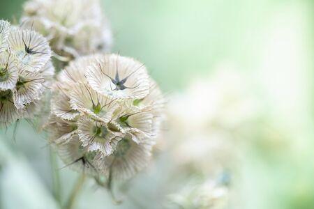 Nahaufnahme von süßen und schönen weißen Blumen in runder Form auf verschwommenem Grünhintergrund Naturpflanzenlandschaft, Ökologie-Tapetenkonzept