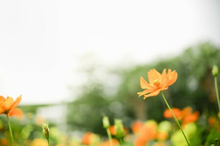 Close up of beautiful orange and yellow cosmos flower with green leaf under sunlight with copy space using as background natural plants landscape, ecology wallpaper concept.