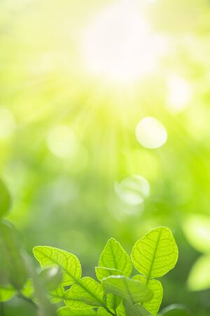 Close up of nature view green kaffir lime leaf on blurred greenery background under sunlight with bokeh and copy space using as background natural plants landscape, ecology wallpaper concept.