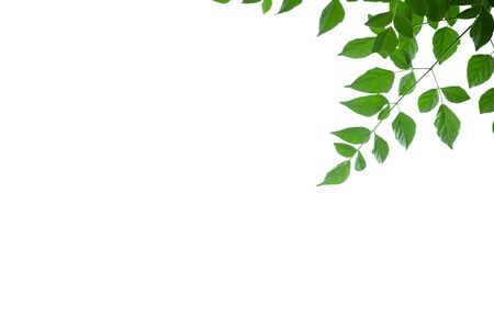 Close up of nature view green cork tree leaf on white background under sunlight and copy space using as background natural plants landscape, ecology wallpaper concept. Banco de Imagens