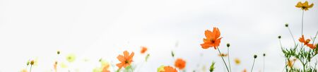 Close up of beautiful orange and yellow cosmos flower with green leaf under sunlight using as background natural plants landscape, ecology wallpaper or cover concept. Banco de Imagens