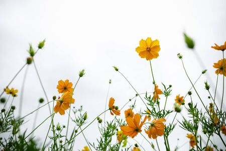 Close up of beautiful orange and yellow cosmos flower with green leaf under sunlight using as background natural plants landscape, ecology wallpaper concept.