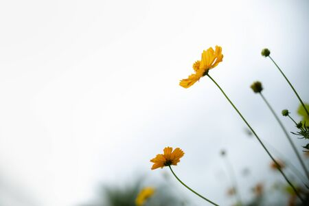 Close up of beautiful orange and yellow cosmos flower with green leaf and sky under sunlight using as background natural plants landscape, ecology wallpaper concept.