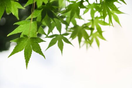 Close up of nature view green maple leaf on blurred greenery background under sunlight with bokeh and copy space using as background natural plants landscape, ecology wallpaper concept.