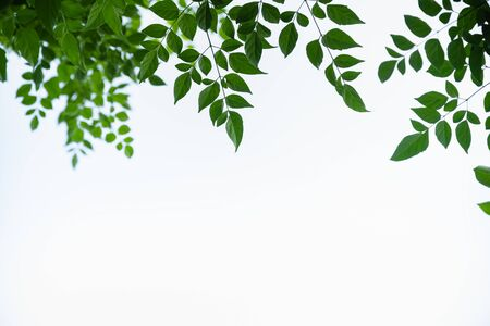Close up of nature view green cork tree leaf on white clear sky background under sunlight and copy space using as background natural plants landscape, ecology wallpaper concept. Banco de Imagens