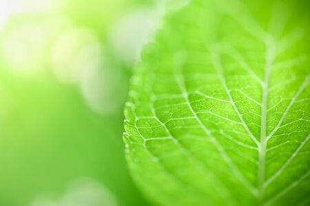 Close up of nature view green banana leaf on blurred greenery background under sunlight with bokeh and copy space using as background natural plants landscape, ecology wallpaper concept.