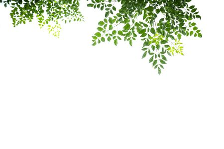 Close up of nature view green cork tree leaf isolated on white clear sky background under sunlight and copy space using as background natural plants landscape, ecology wallpaper concept.