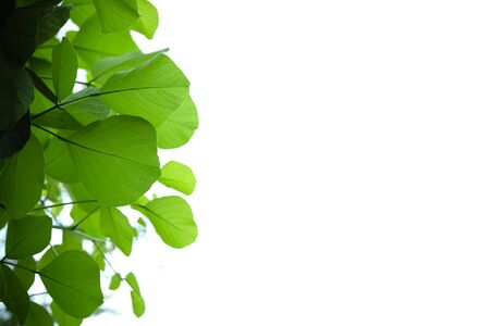 Close up of nature view green leaf isolated on white clear sky background under sunlight and copy space using as background natural plants landscape, ecology wallpaper concept.