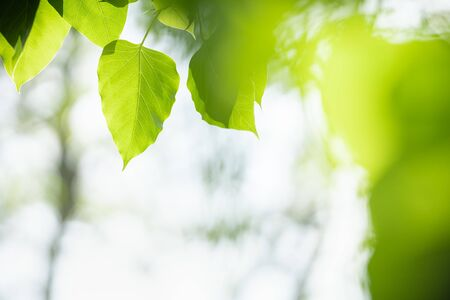Close up of beautiful nature view green Sacred fig leaf on blurred greenery background under sunlight with bokeh and copy space using as background natural plants landscape, ecology wallpaper concept.