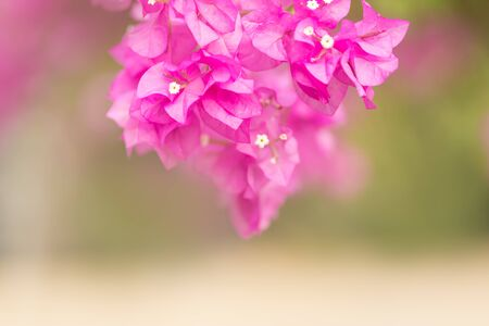 Close up of nature view pink Bougainvillea on blurred greenery background under sunlight with bokeh and copy space using as background natural plants landscape, ecology wallpaper concept.