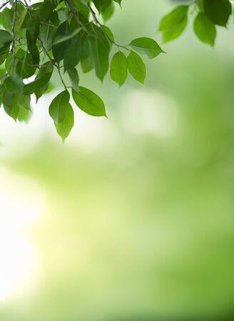 Gros plan sur une belle vue sur la nature feuille verte sur fond de verdure floue sous la lumière du soleil avec bokeh et espace de copie en utilisant comme arrière-plan le paysage de plantes naturelles, concept de papier peint écologique. Banque d'images