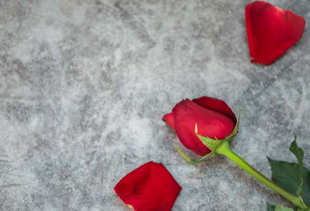 Closeup of beauty red rose flower on white concrete background with copy space. Using as flora nature and love, Valentine's day wallpaper Concept