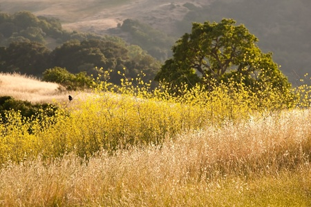 mustard field: A black bird is perched in a mustard field in oak grassland in summer, in Calero Park in California, near San Jose