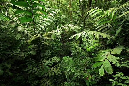 tree canopy: A picture looking into a dense, lush, remote tropical rain forest jungle in Costa Rica
