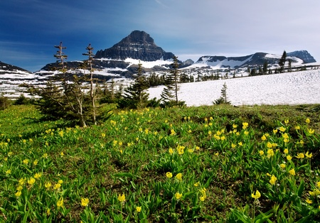 Mountain Lilies at Logan Pass in late springearly summer at Logan Pass in Glacier National Park, Montana photo