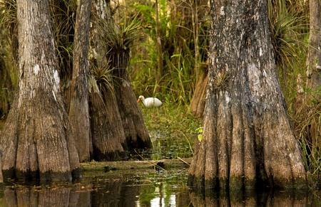 A wading bird (ibis) is visible through the cracks in the cypress trees in a swamp in the Everglades National Park wetlands