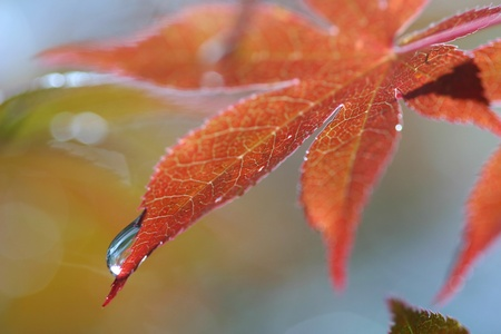 A dewdrop rolls down a red Japanese Maple leaf photo