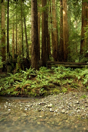 Redwood Trees in Muir Woods Stock Photo
