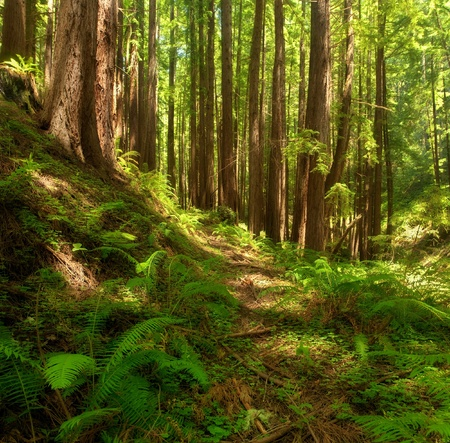 Dreamy scenic with California Coastal Redwoods and ferns in foreground with dappled sunlight throughout