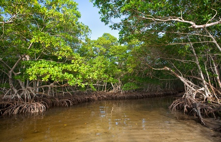 marshland: Dense Red Mangroves in South Florida