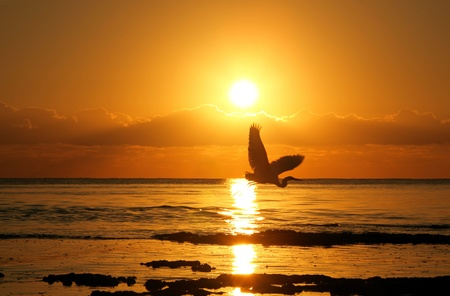 Heron in flight during majestic Florida sunrise Stock Photo - 11799213