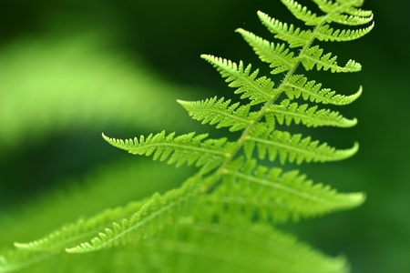 Beautiful macro of a green fern photo
