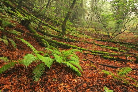 temperate: Lush temperate rain forest and large ferns in Northern California Stock Photo