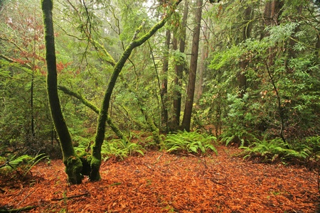 temperate: Lush temperate rain forest in Northern California Stock Photo