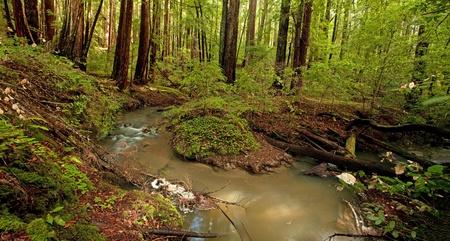 Lush rain forest and stream in Portola Redwoods, California Archivio Fotografico