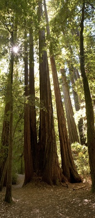 Gigantic Redwood Trees in sunlight photo