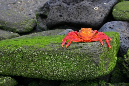 Sally Lightfoot Crab, or Graspus Graspus, on a mossy rock in the Galapagos Islands