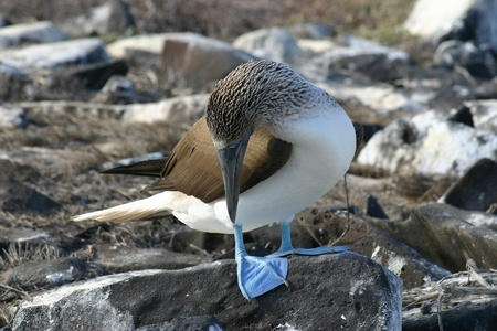booby: Blue Footed Booby, Sula nebouxii, checking out his feet on the Galapagos Islands