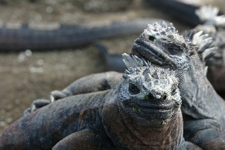 Two Galapagos Marine Iguanas (Amblyrhynchus cristatus) asleep in the sun Stock Photo - 12304490