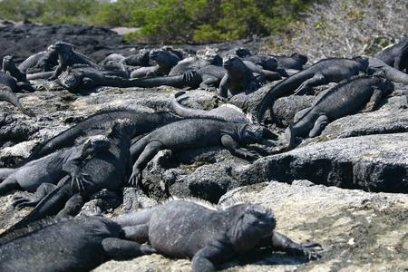 Group of many Galapagos Marine Iguanas (Amblyrhynchus cristatus) snoozing in the sun