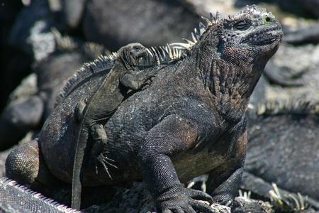 Galapagos Marine Iguana (Amblyrhynchus cristatus) with baby Stock Photo - 12295861