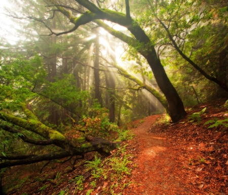Rays of sunshine break through a wet, moss covered rain forest in California photo