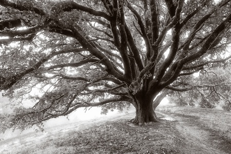 Black and white photograph of a giant oak tree on a misty morning on a California hillside photo