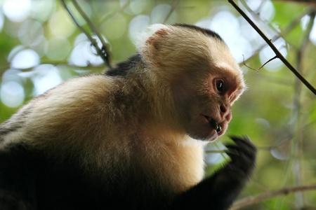 A wild Capuchin Monkey in Costa Rica
