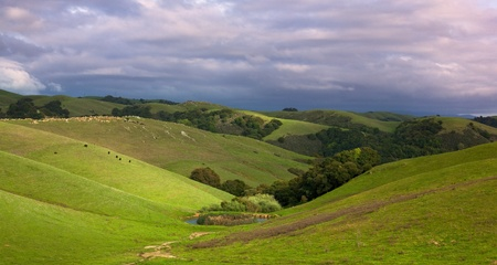 central california: Pastoral California hillside in spring sunshine with cattle