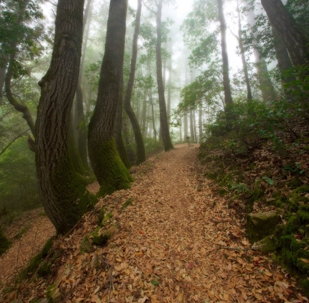 bay area: Hiking through the California Redwood Forest on a foggy day Stock Photo