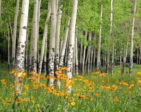 북부 뉴 멕시코에있는 발레 칼데라, 근처 풀밭에 아스펜 그 로브, 오렌지 야생화 스톡 콘텐츠