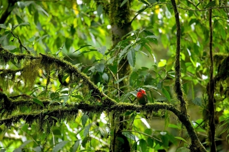 Beautiful red tropical bird in Costa Rica Фото со стока