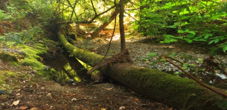 beautiful woodland: A mossy fallen log straddles a quiet creek in a lush temperate forest