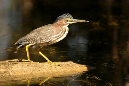 marine bird: A beautiful Green Heron is fishing in the Florida Everglades Stock Photo
