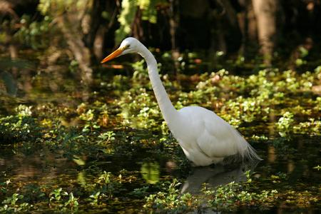 marine bird: An elegant Great Egret wades through the Florida Everglades at dusk