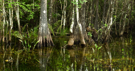 cypress tree: Swamp scene typical of Florida Everglades and Big Cypress