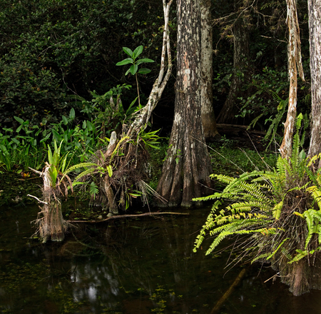 adorn: Lush ferns adorn the bases of beautiful Bald Cypress trees in the Florida Everglades
